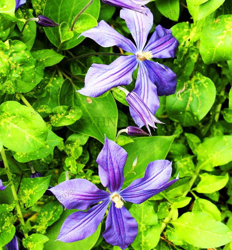 50X Mix Colors Clematis Seeds Vine Climbing Plant Bonsai Home Garden Flower Seed