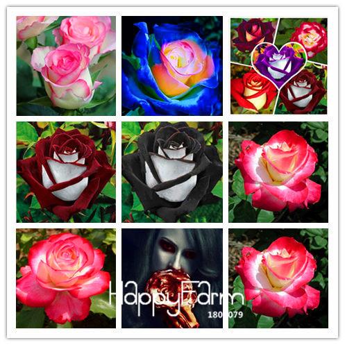 Us 08 big salewhite heart pink side rose seeds 24 colors plants loading zoom mightylinksfo