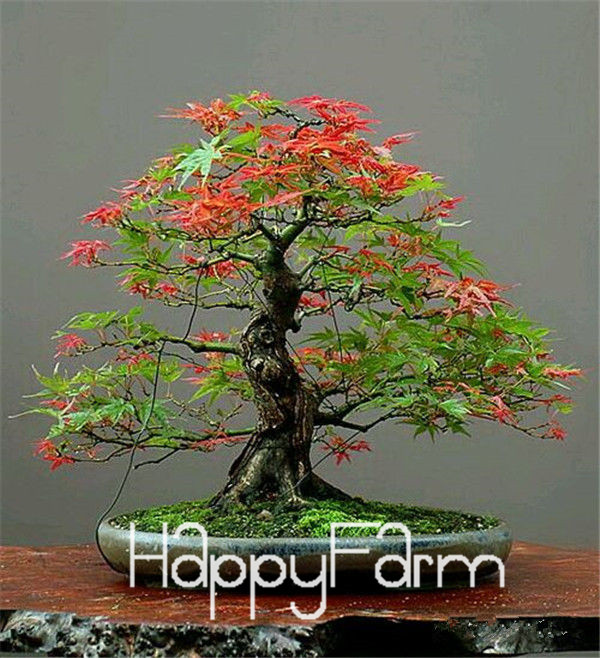 Japanese Red Maple Bonsai Tree Cheap Seeds Mini Bonsai Seeds 50 Seeds 11 Kinds Mixed Very Beautiful Indoor Tree Br3kl