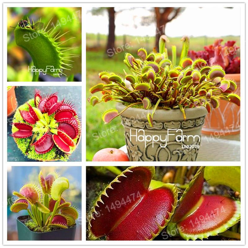 "- Fresh Dionaea /""muscipula/"" 10+ seeds Carnivorous Plant Venus Fly trap 2018"