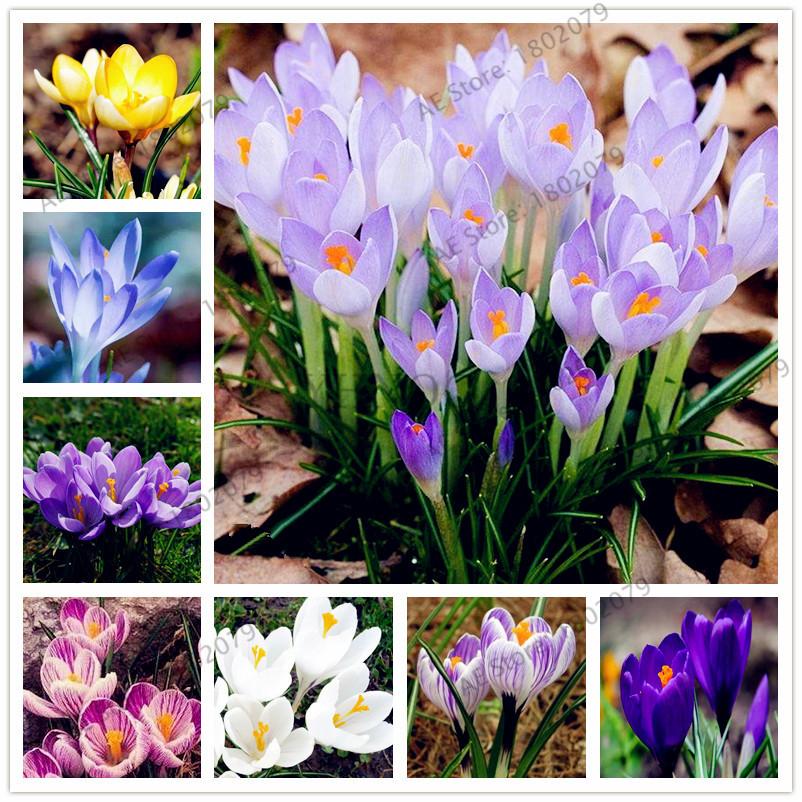 Us 0 8 100pcs Bag Many Varieties Saffron Seeds Saffron Flower