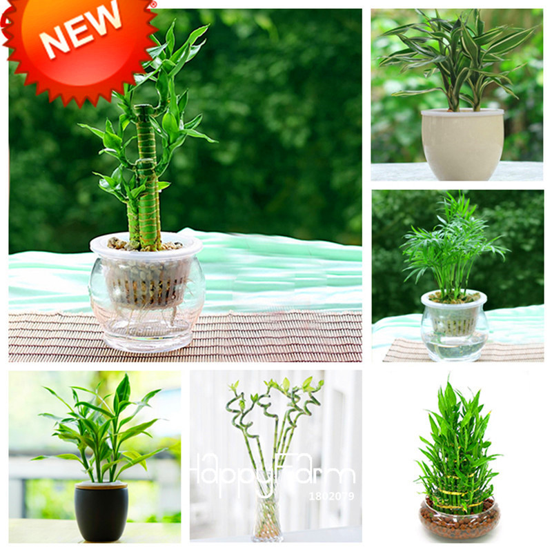 Loss Promotion 6 Kinds Lucky Bamboo Choose Potted Seeds Variety Complete Dracaena The Budding Rate 95 100 Seed Bag Ptuj Item No 921375