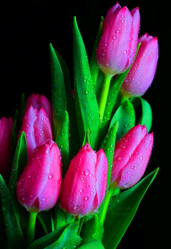 Us 0 8 103pcs Bag Tulip Seeds Rare Bonsai Flower Seeds