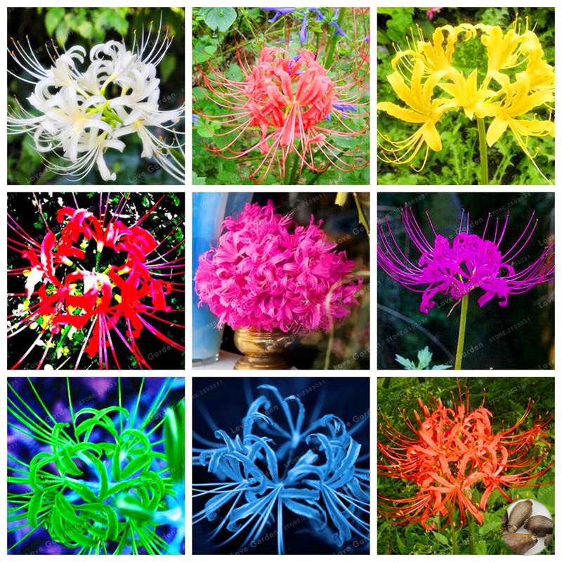 15 Bulbs True Lycoris Radiata Bulbs Perennial Flower Bulbs Natural