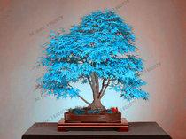 Us 0 8 Japanese Red Maple Bonsai Tree Cheap Seeds Mini