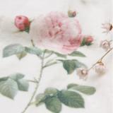 Classical Lolita Roses Printing Tigths