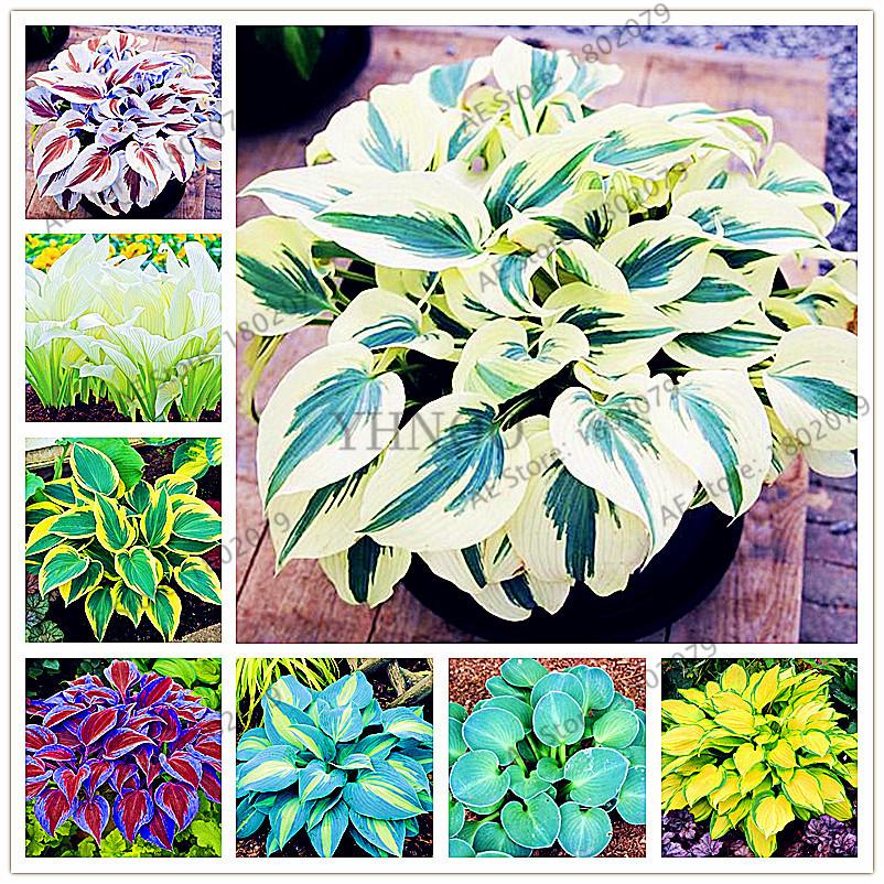 400pcsbag Hosta Plants bonsai Perennials Lily Flower Shade Hosta Flower Grass flores Plants for Home and Garden