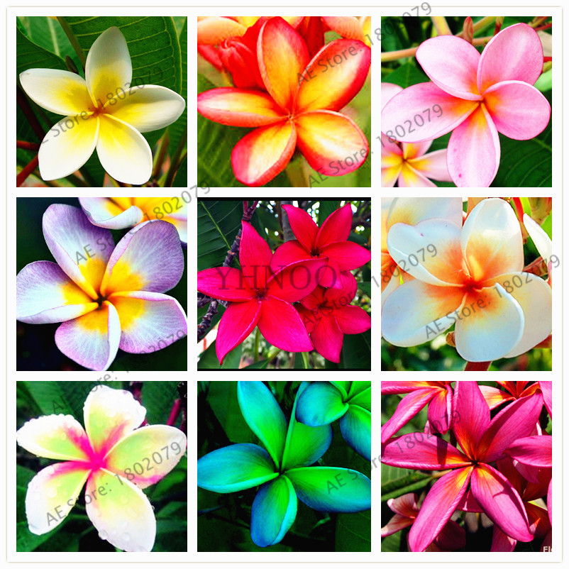 Us 0 80 20pcs Bag Mixed Colors Frangipani Plumeria Rubra Flower Seeds Perennial Bonsai Plant For Home And Garden Planting M Enjoymygarden Com
