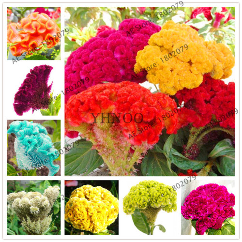 Celosia Cockscomb Yellow Flower Plant Seed Home Garden Flower Plant Seed 100 Pcs