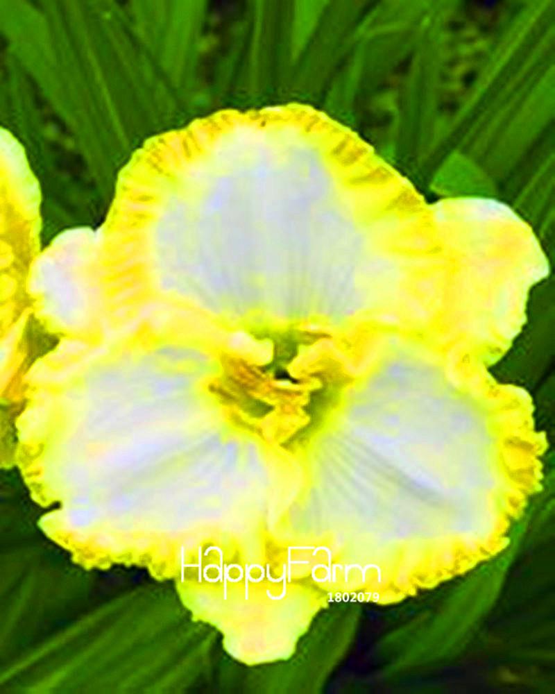 100 Seeds//Lot Hybrid Daylily Flowers Seeds Hemerocallis Lily Indoor Bonsai Home Garden Supplies 10