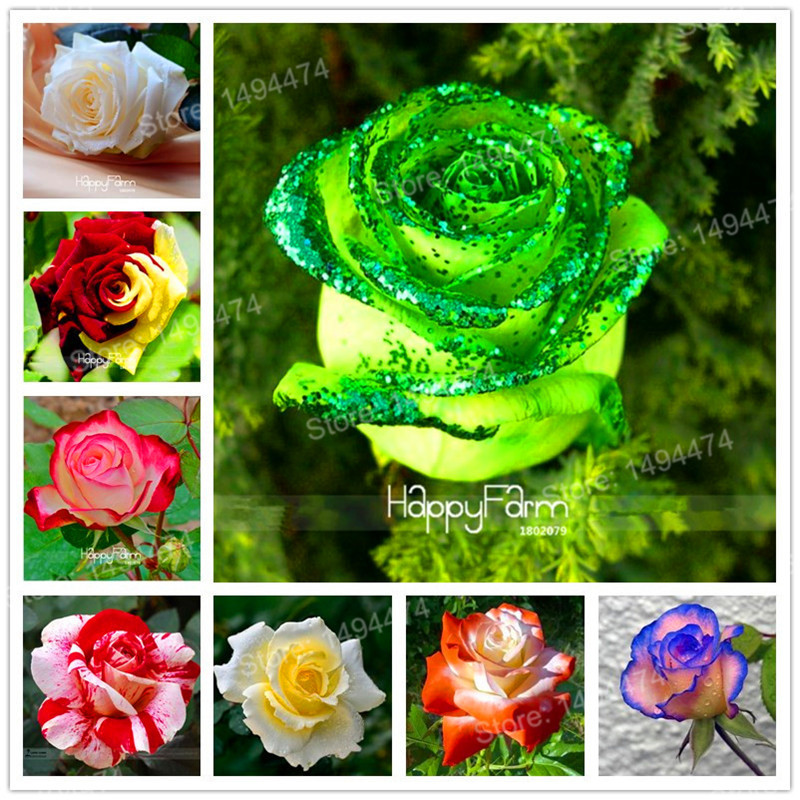 Us 0 80 Hot Sale Rare Mixed 100 Rose Flower Seeds Strong Beautiful Fragrant Garden Rose Flower Bonsai Plant Seeds Easy To Plant M Enjoymygarden Com