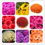 100pcs Chrysanthemum Flower Seeds Mixed Rainbow Perennial Bonsai Plant Chamomile