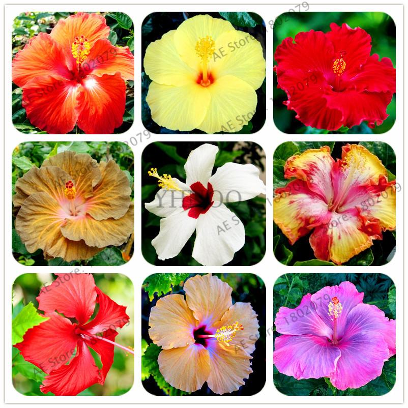 100 Seeds Hibiscus Rosa-sinensis Rainbow Flower Bonsai Big Blooms Garden Plants