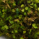 florist moss                                             of